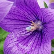 July 24 2021 Rainy day! Purple beauty - Balloon flower in Thornhill
