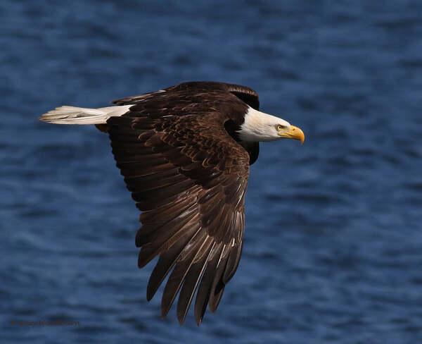 2021-07-24 - Bald Eagle, locked in on distant food, at Esquimalt Lagoon Esquimalt Lagoon, Colwood, BC