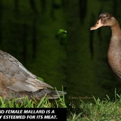 2021-07-23 - A Mulard duck - father is a Muscovy duck, mother is a Mallard duck