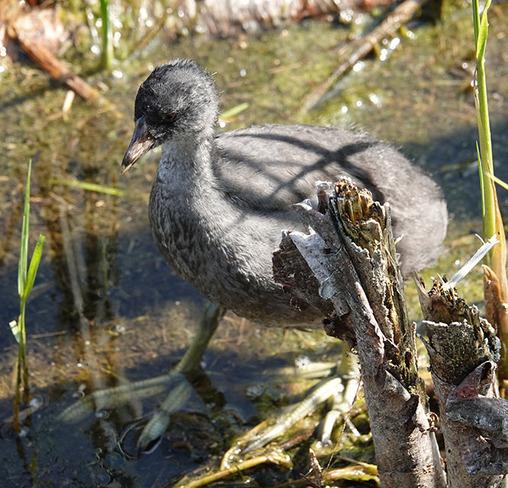 Ducklings Edmonton, AB