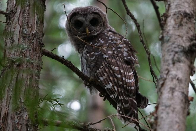Barred Owl Kaslo, BC