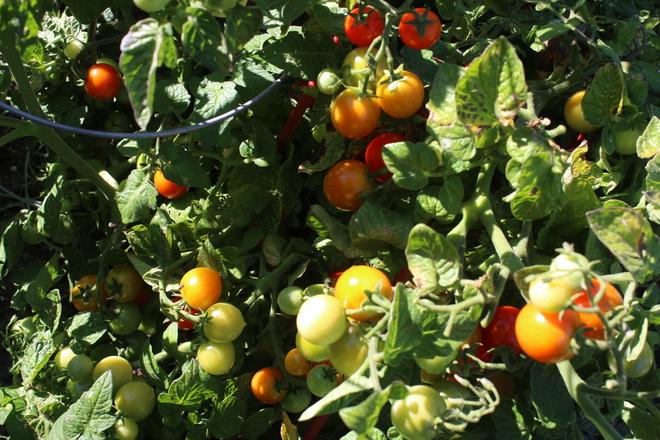 Almost Harvest Time London Heritage Farm, Dyke Road, Richmond, BC