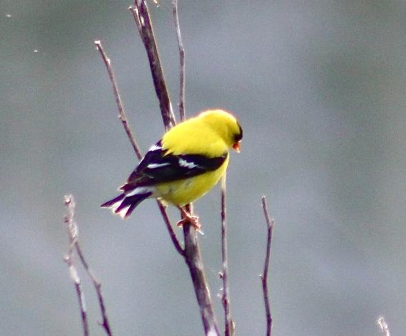 Golden finch Etobicoke, Ontario, CA