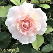 Resurgence of Renaissance Rose Clair
