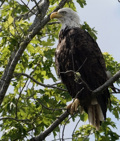Bald Eagle Saint John, New Brunswick, CA