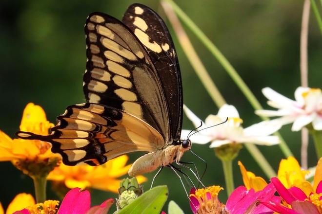 Eastern tiger swallowtail Frankford, Ontario, CA