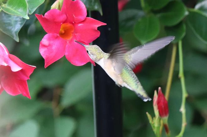 Petite femelle colibri Saint-Constant, QC