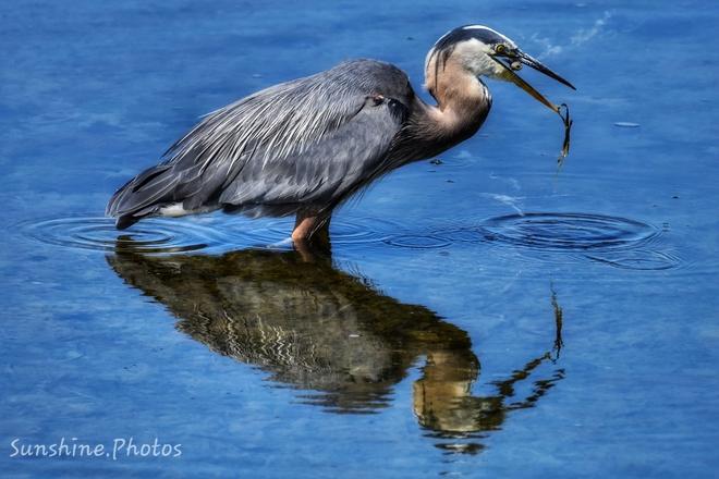 Beauty Heron Parksville, BC