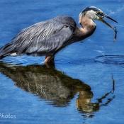 Beauty Heron