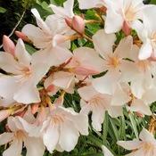 Unusual Coloured Oleander