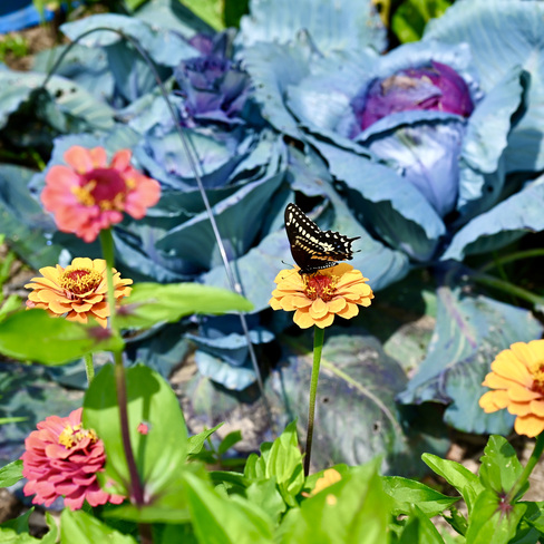 Papillon Grand porte-queue Gatineau, QC