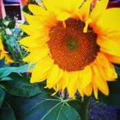 sunflower vibes
