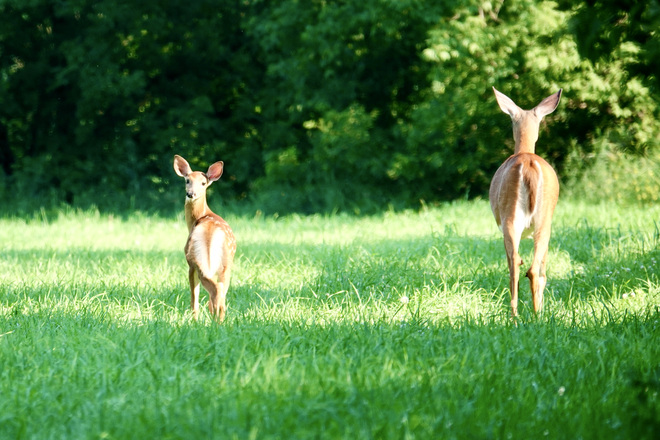Deer parenting Delaware, ON
