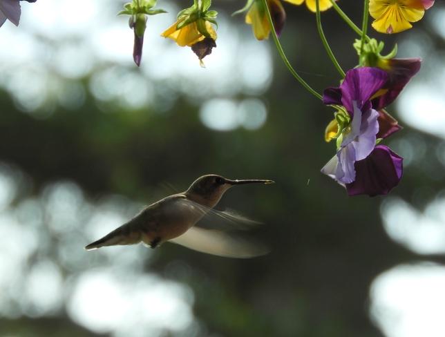 Hummingbird Cross Creek, NB