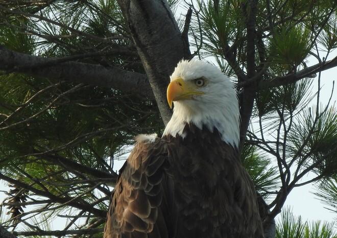 Majestic Bald Eagles Devil Lake, South Frontenac, ON