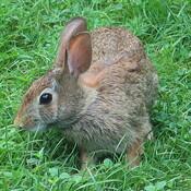 Bunny in backyard