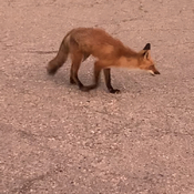 Red Fox wondering around me while sitting