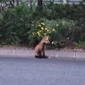 Fox on Driveway