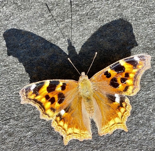 Beautiful Butterfly!! Nipigon, Ontario, CA