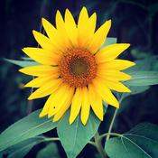 A lone sunflower