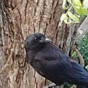 He or She Crow like getting pics