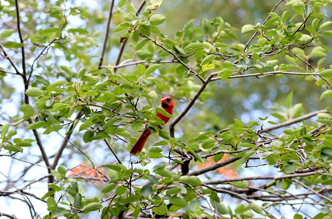 Singing in the tree. Ottawa, ON