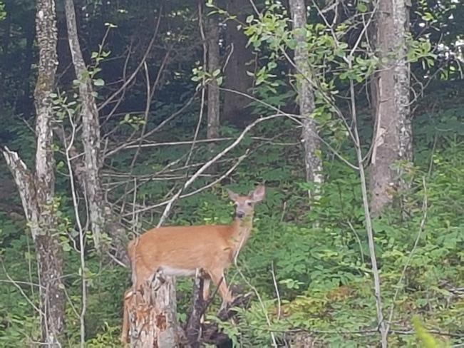 Lovely Deer Mont-Tremblant, QC