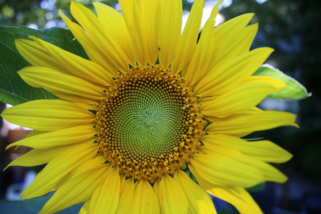 Sunflower Close up London Heritage Farm, Dyke Road, Richmond, BC
