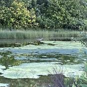 Un canard et son étang