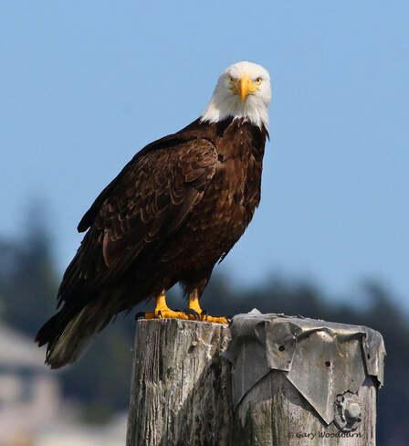 2021-07-29 - Bald Eagle, giving you 'The Look', at Esquimalt Lagoon Esquimalt Lagoon, Colwood, BC