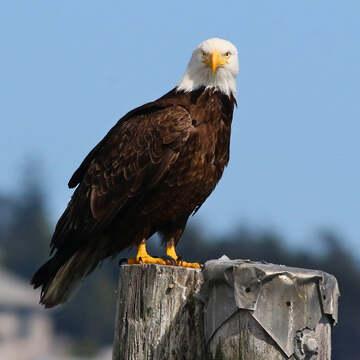 2021-07-29 - Bald Eagle, giving you 'The Look', at Esquimalt Lagoon