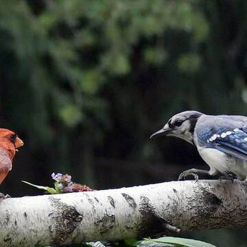 La confrontation...