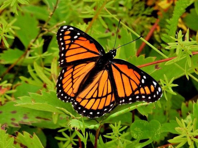 Papillon Vice-roi Matane, QC