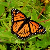 Papillon Vice-roi