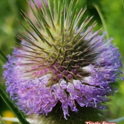 July 30 2021 19C Nature beauty - Wild purple Thistle flower - Markham