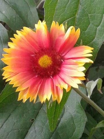 First gaillardia to bloom! Timmins, ON