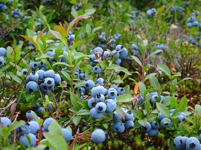 Field Of Big Blueberries Sudbury, ON