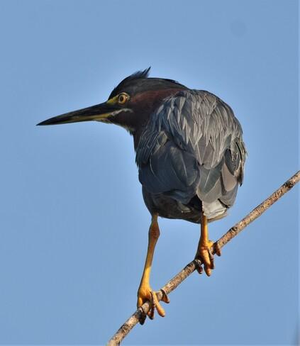 green heron Tilbury, ON