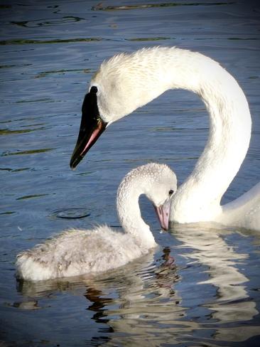 Momma swan and Baby Grande Prairie, AB