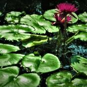 Lily Pad Heaven