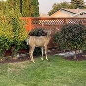 Visiting buck