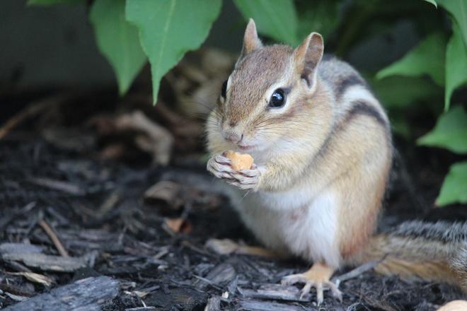 Chipmunk having a snack Petawawa, Ontario, CA