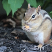 Chipmunk having a snack
