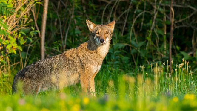 Coyote Kawartha Lakes, ON
