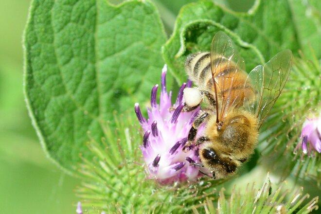 Honey bees on a Sunday stroll Toronto, ON