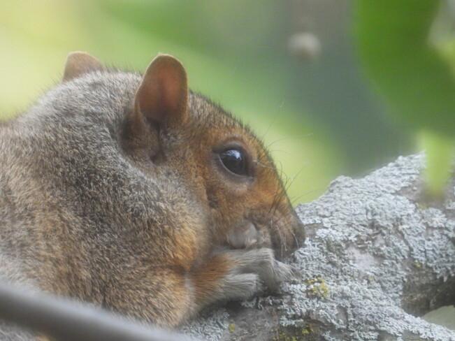 Squirrels Île des Soeurs, QC