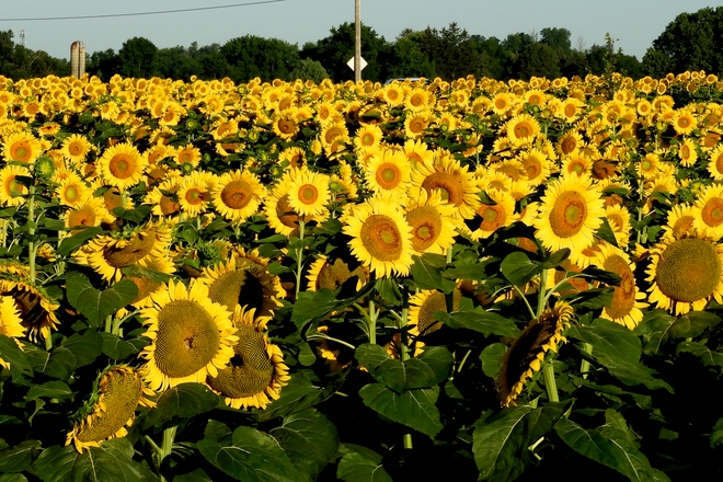 Sunflowers at Sunrise 1 Glendrummond Dr, Dundas, ON L9H 5E2, Canada