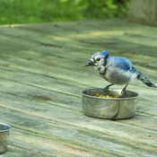 Blue Jay at feral Cat food bowl