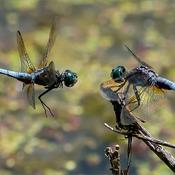 Dragonflies in a Fight! www.raymondbarlow.com