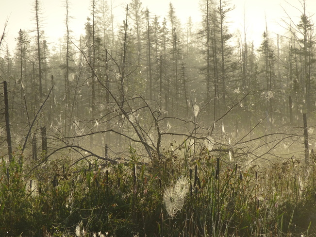 Foggy Field Of Spider Webs Sudbury, ON